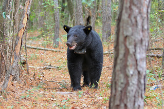 Bear Population 01 | by Auburn University