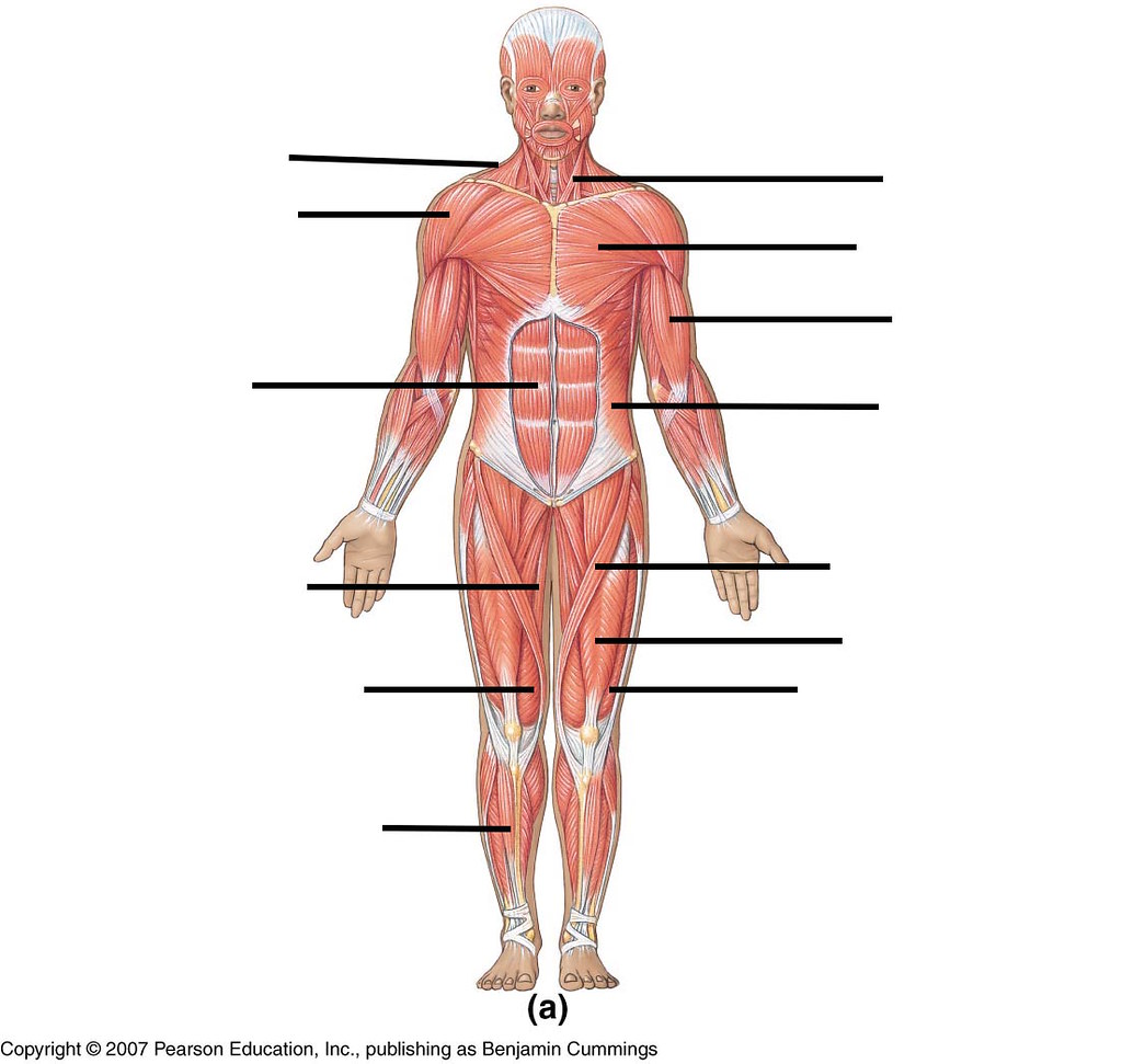 Muscles Anterior (by mrobrien) - Memorize.com - Learn and Remember