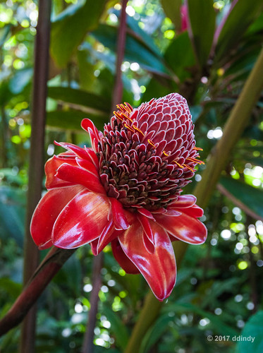 Torch Ginger | by ddindy