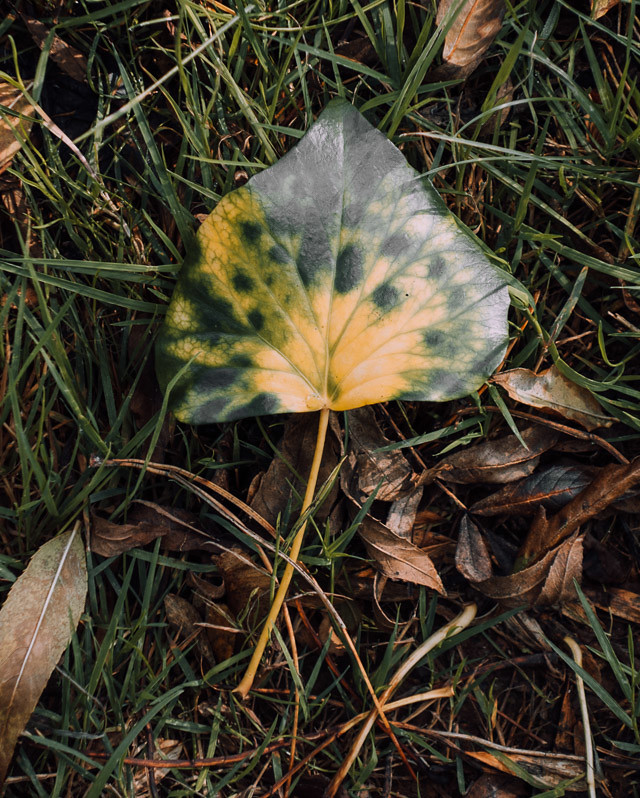 green and yellow leaf