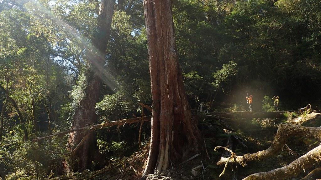 2016年始,野樹探勘小隊遠征鬼湖區域的本野山探勘台灣面積最大的台灣杉原生林。圖片來源:楊嘉君。