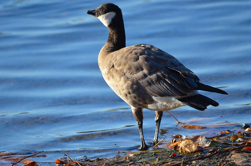 Cackling Goose | by Neal D