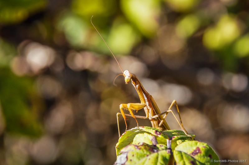 Mantis religiosa macho en Marmellar