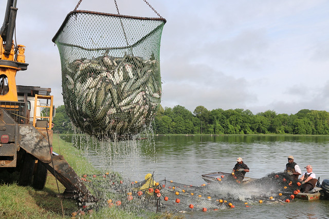 Auburn researchers gather catfish at a research pond.
