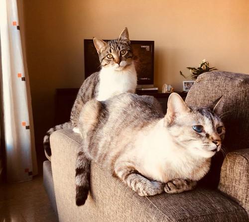 Ferb, gatito blanquipardo activo y muy cariñoso, nacido en Junio´17, en adopción. Valencia. ADOPTADO. 37983386935_1e83df615c