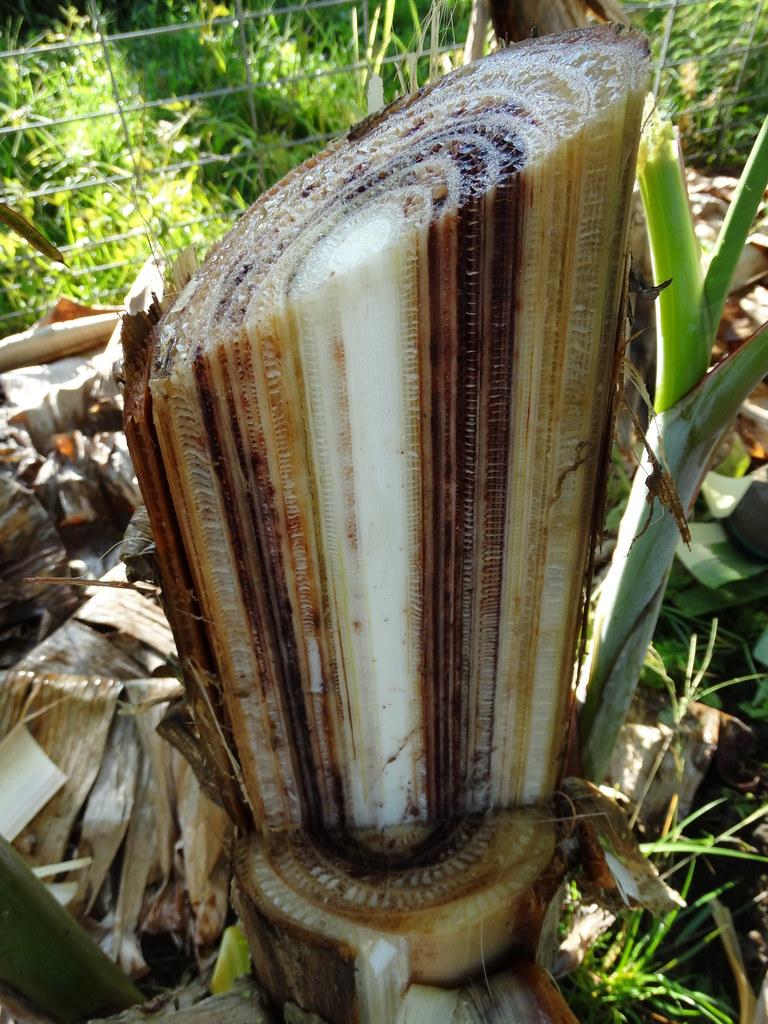 Banana Variety Koa E Kea Fusarium Wilt Panama Diseas