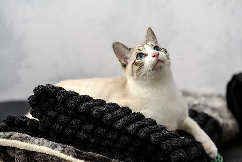 Habib, precioso cruce siamés dulzón esterilizado, nacido en Junio´17, en adopción. Valencia. ADOPTADO. 38849065652_82ec0c33db