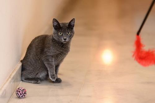 Gala, gatita cruce Cartujo tímida y dulce, nacida en Julio´17, en adopción. Valencia. ADOPTADA. 38164532664_58293d0667