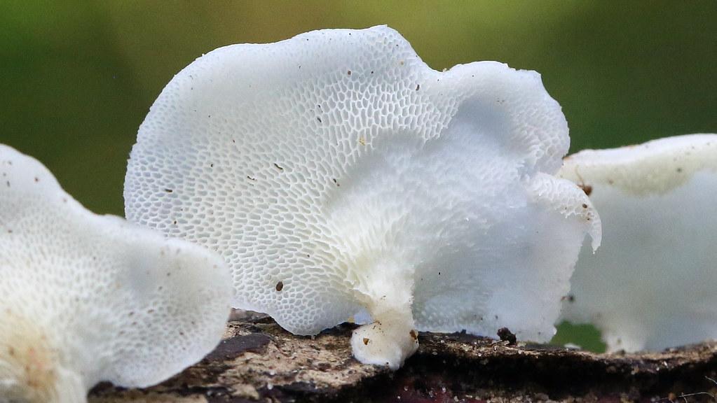 Favolus tenuiculus 纖薄菱孔菌(...