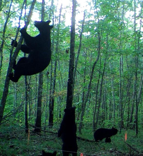 A bear climbs a tree