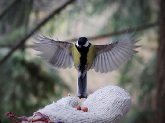 Lintujen ruokintaa Seurasaaressa