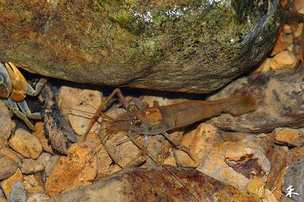 3_大多數溪中動物遇到危險,就會往石縫下面躲。(圖片來源:人禾)