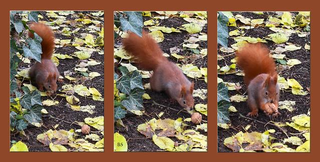 Friedhof Mannheim-Rheinau November 2017: Eichhörnchen werden mit Walnüssen beschert ... Fotos: Brigitte Stolle