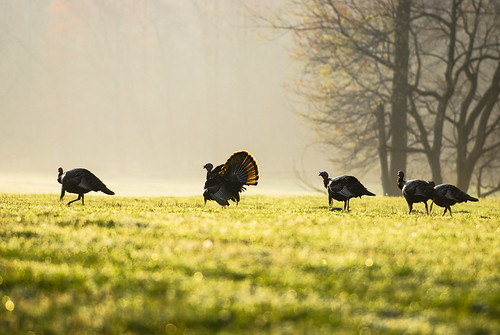A group of turkeys