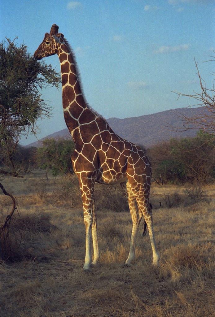 網紋長頸鹿的獨特花紋,肯亞。圖片來源:Dan LUNBERG, 2007 (CC BY-SA 2.0)