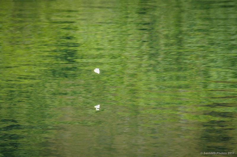 Mariposa volando sobre el pantano de Santa Fe de Montseny