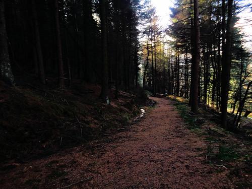 Pine Forest near Birchen Clough Bridge