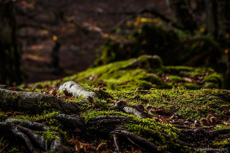 Raíz de haya sobre roca cubierta de musgo