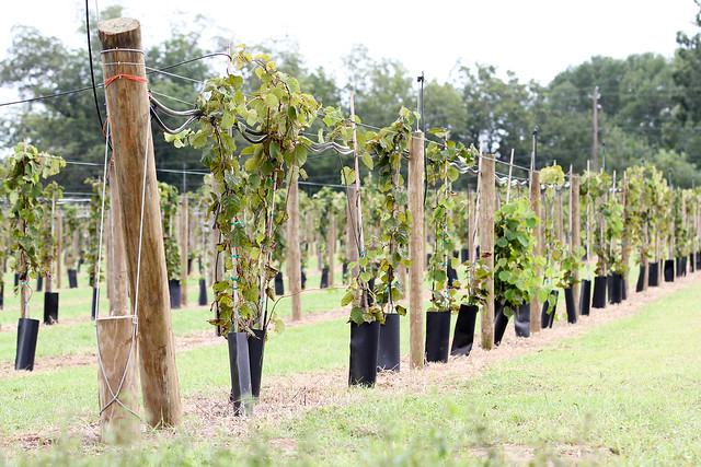 End posts support the system of crossbeams and lattice the kiwifruit vines grow on.
