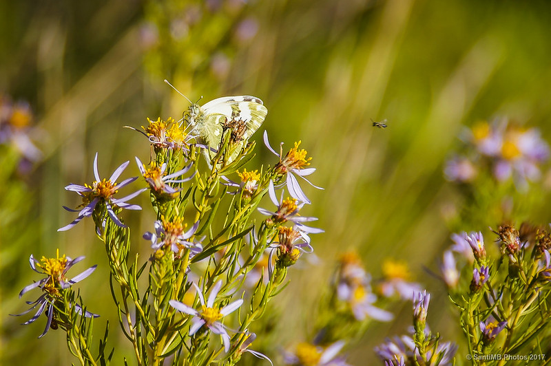 Blanquiverdosa y abeja en Marmellar