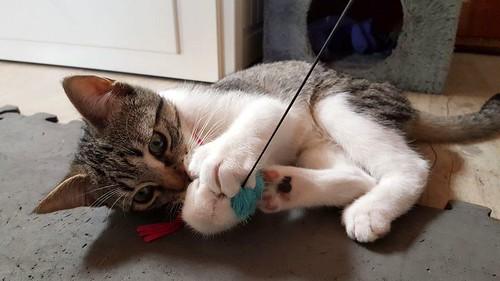 Ferb, gatito blanquipardo activo y muy cariñoso, nacido en Junio´17, en adopción. Valencia. ADOPTADO. 37600865915_de7ee4a1fb