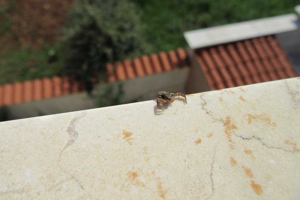 Krabbenspinne Besucht Fensterbrett Ngidn1373679259 Flickr