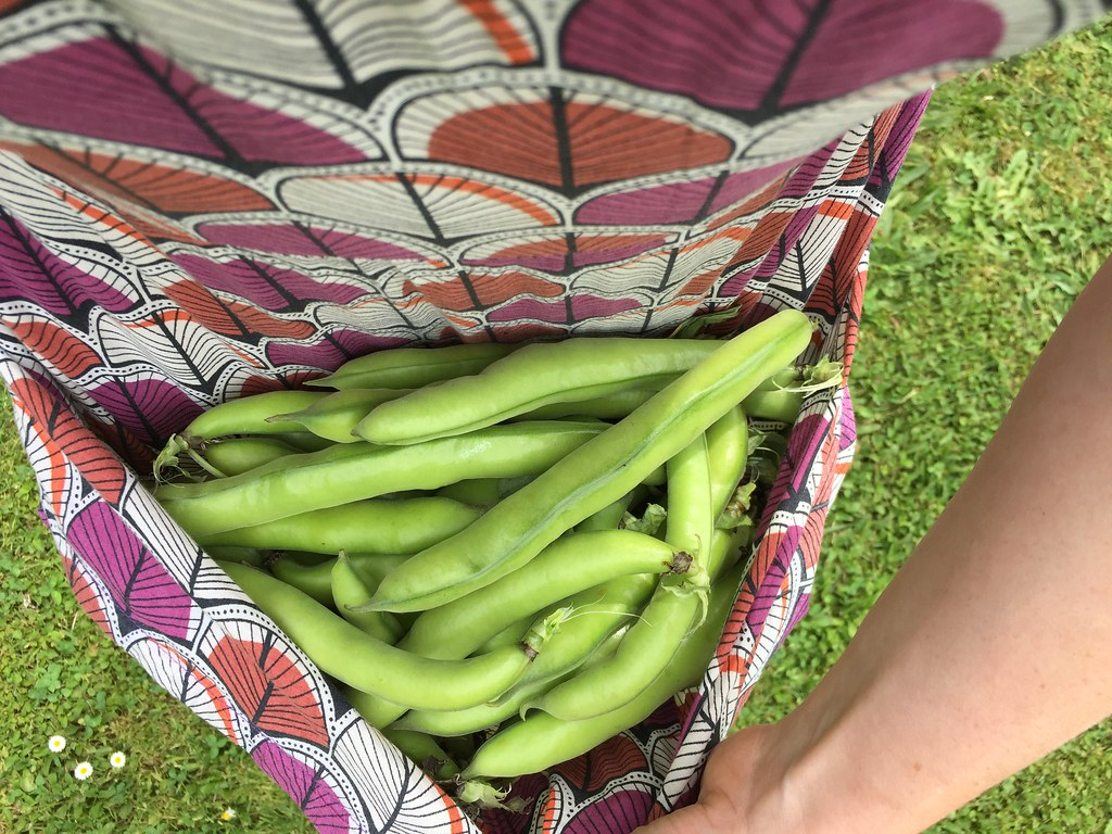 a picking of broad beans, bundles in the apron of my dress