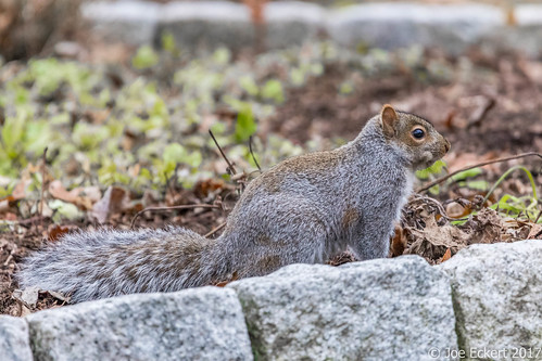 Squirrels in Fairfield | by joeeckert