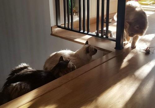 Blondie, gata Angora vainilla tímida y dulce esterilizada, nacida en Abril´13, en adopción. Valencia. ADOPTADA. 38817129942_618e280d45
