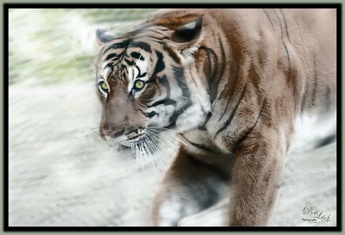 Image of a Sumatran Tiger at the Jacksonville Zoo