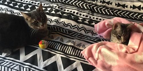 Benny, gatito Azul Ruso Tabby muy guapo y bueno, nacido en Julio´17, en adopción. Valencia. ADOPTADO. 26773857029_548946eeba