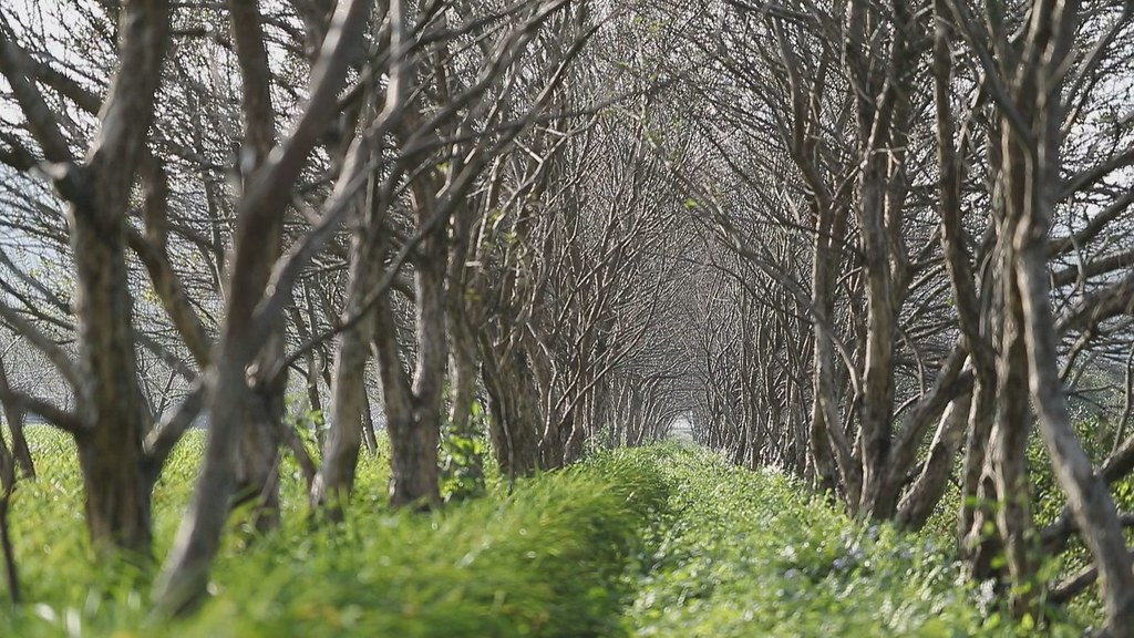 930-2-24田地周圍的綠色隧道,是王順瑜努力搶救的水社柳。