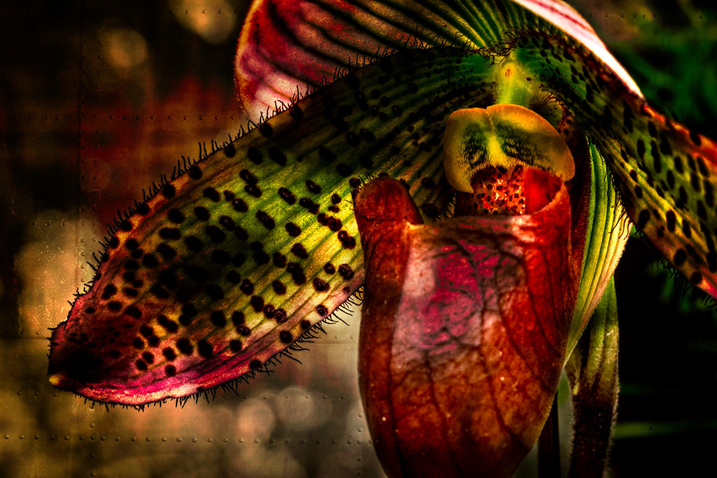 Lady Slipper Orchid, abstract macro
