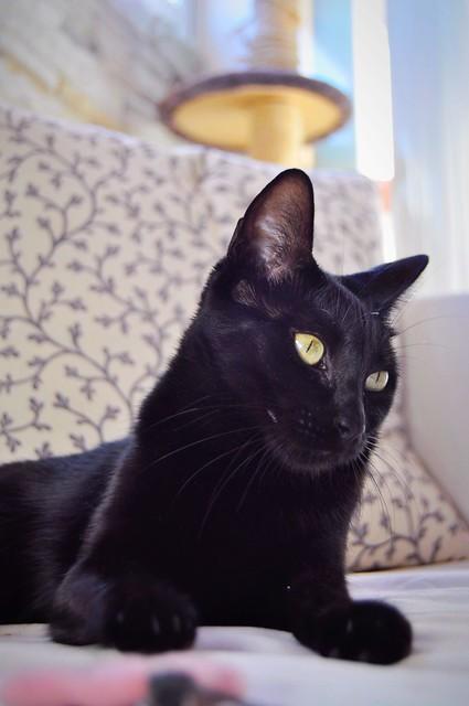Selva, gatita Pantera guapa, estilizada y divertida esterilizada, nacida en Mayo´16, en adopción. Valencia. ADOPTADA. 38546702172_b17df9a73e_z