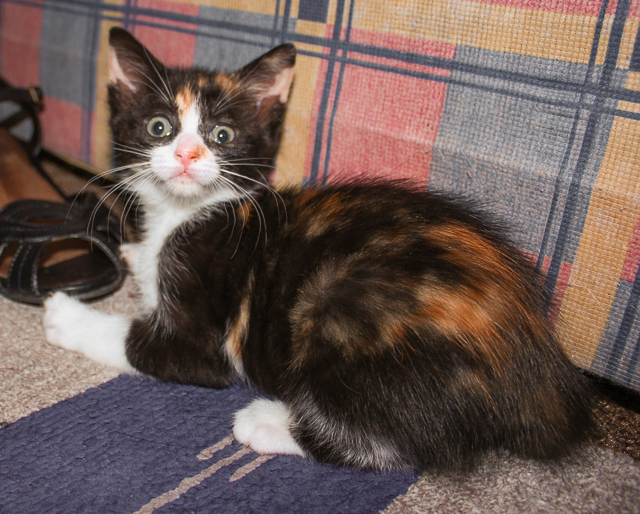 calico tortoiseshell kitten with crazy eyes