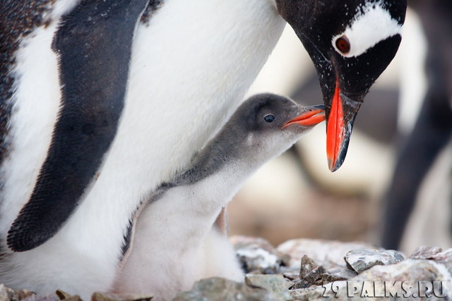 linux-penguin-image-mother-baby-penguin