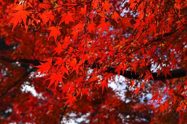 真っ赤な紅葉