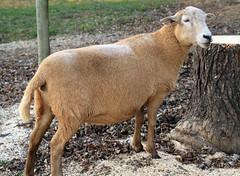 Sheep 201: Hair sheep primer