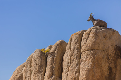 Bighorn Sheep | by Joshua Tree National Park