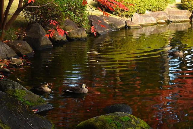 大田黒公園 池にいたカモ
