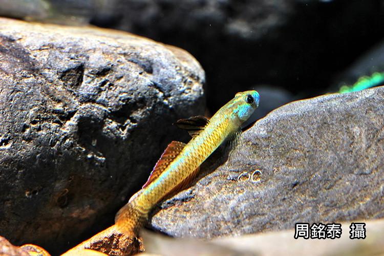 5_枝枒鰕虎雄魚的色澤多彩。(攝影:周銘泰)