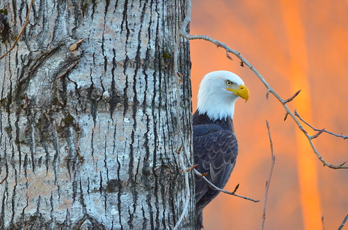 End of Day Eagle | by Neal D