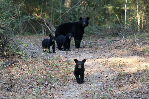 Bear Population 03 | by Auburn University