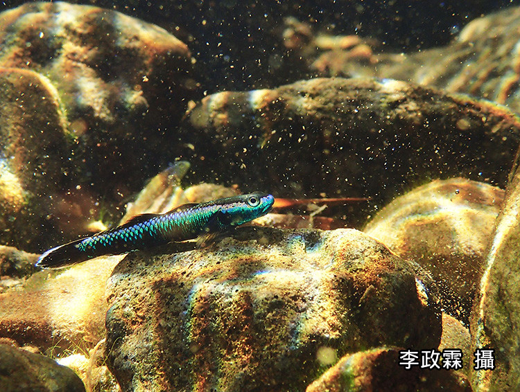 6_有能躲避的溪石,保障這幻彩小魚不致太容易被掠食。(攝影:李政霖)