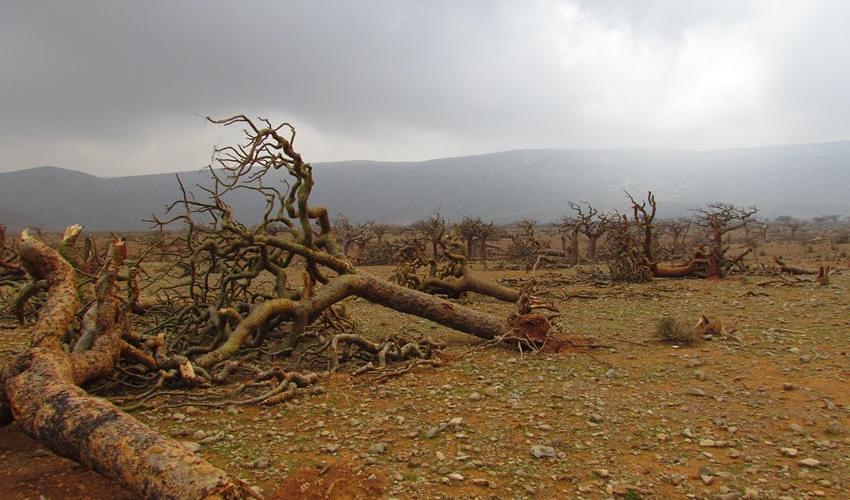 socotra_archipelago_yemen_uprooted_trees_c_iucn_ismail_mohammed_850