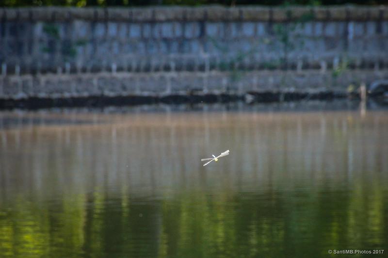 Libélula volando sobre el pantano de Santa Fe de Montseny