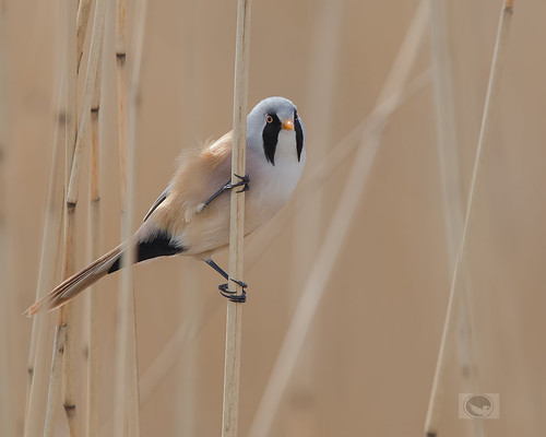 IMG_Bearded reedling male | by Weja 68