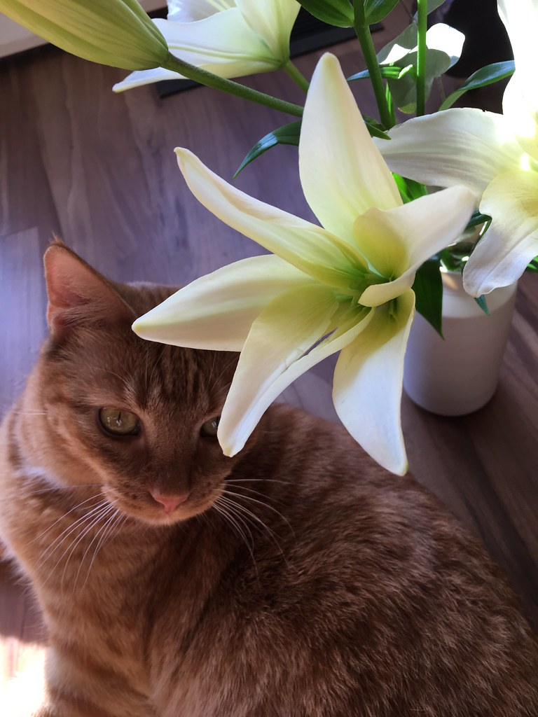 Studio orange kitty with lilies