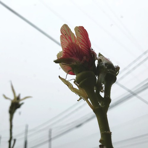flickr the urban okra blooms in 33...
