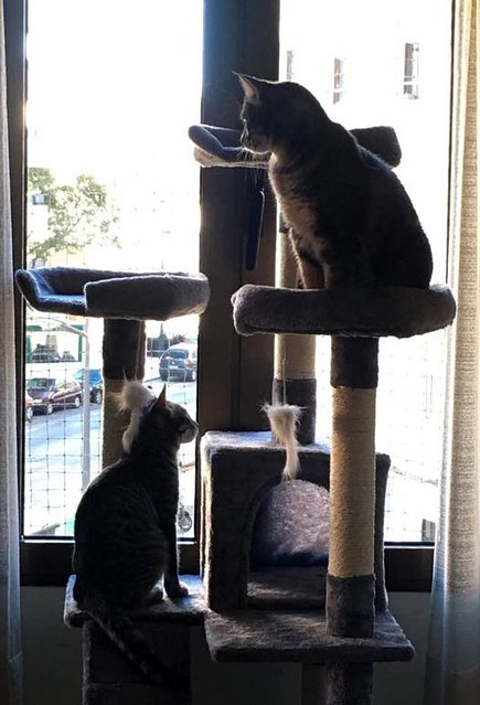 Benny, gatito Azul Ruso Tabby muy guapo y bueno, nacido en Julio´17, en adopción. Valencia. ADOPTADO. 38493496376_621539a664_z